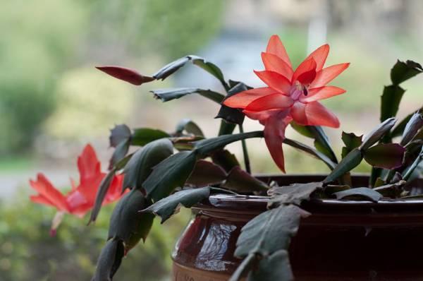 цветок декабрист можно ли держать дома