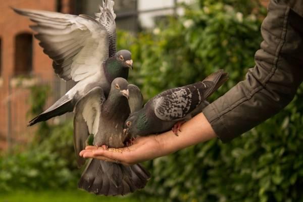 к чему голубь задел крылом голову примета