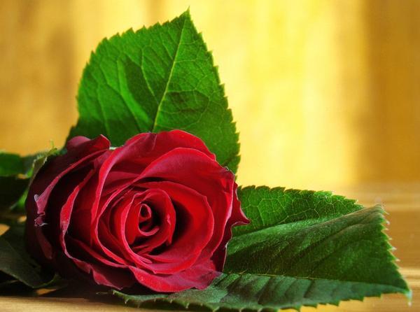к чему дарят одну красную розу