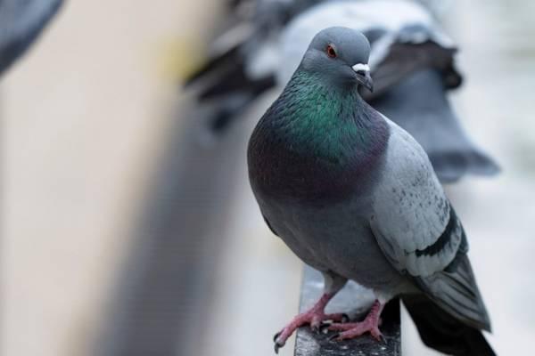 к чему залетает голубь в окно