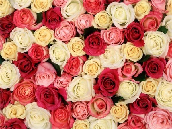 розовые, красные, белые розы