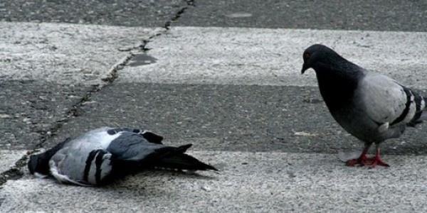Мертвый голубь