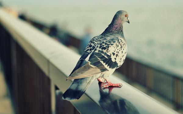 приметы про голубей