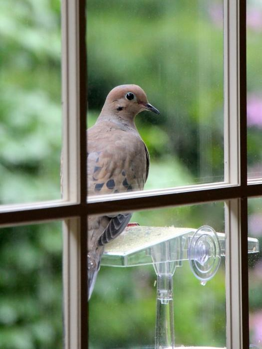 голубь у окна