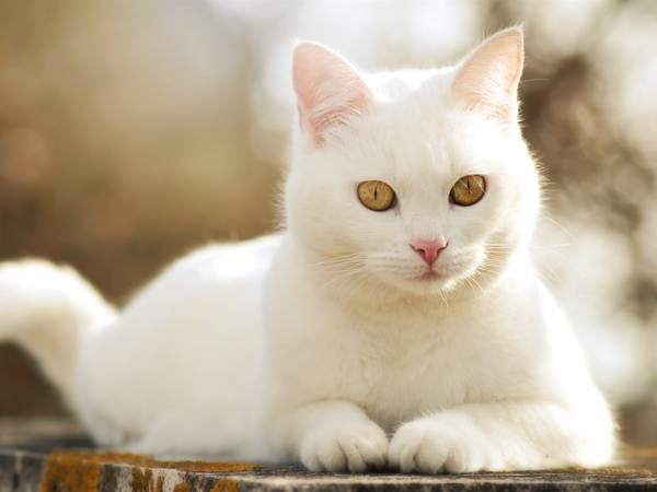 дорогу перешла белая кошка