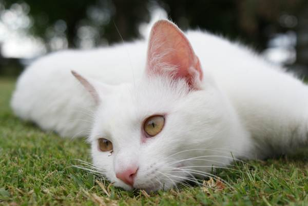 белая кошка приметы