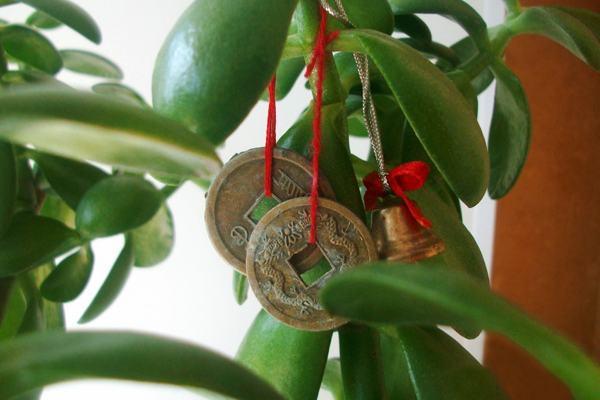 пересадка денежного дерева по фен шуй