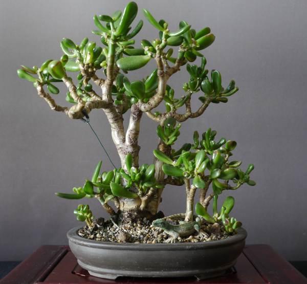 посадить денежное дерево по фен шуй