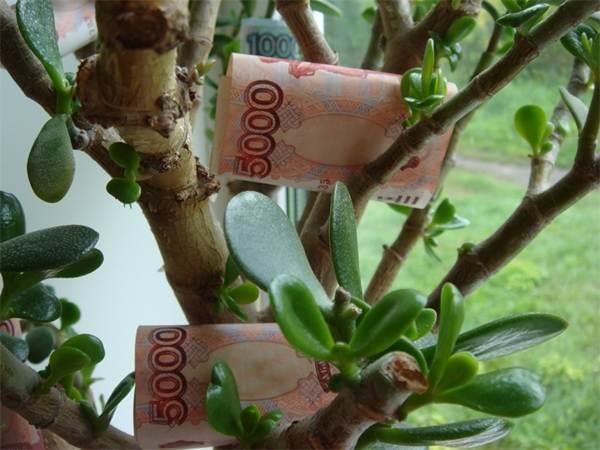 как сажать денежное дерево для привлечения денег в горшок - 41 как правильно сажать денежное дерево чтобы водились деньги