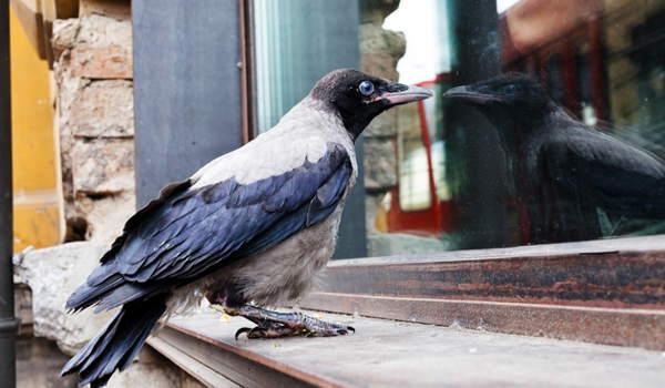 ворона у окна