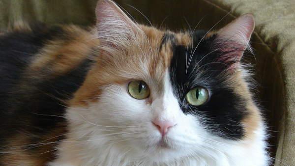 трехцветная кошка приметы