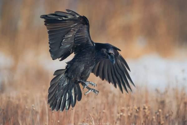 к чему каркают вороны