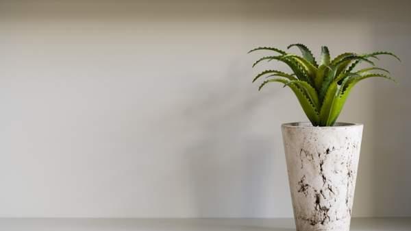 цветение алоэ в домашних условиях приметы