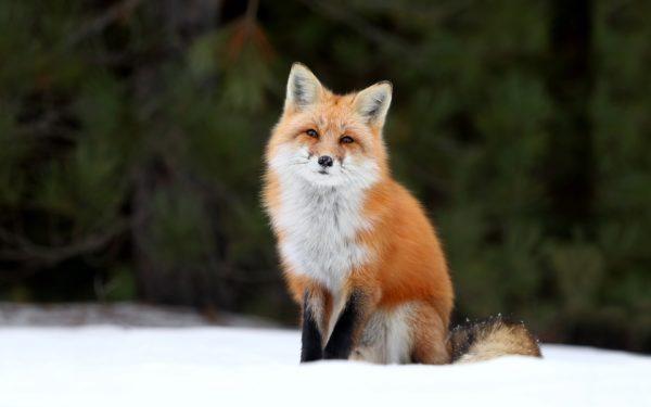 К чему снится лиса