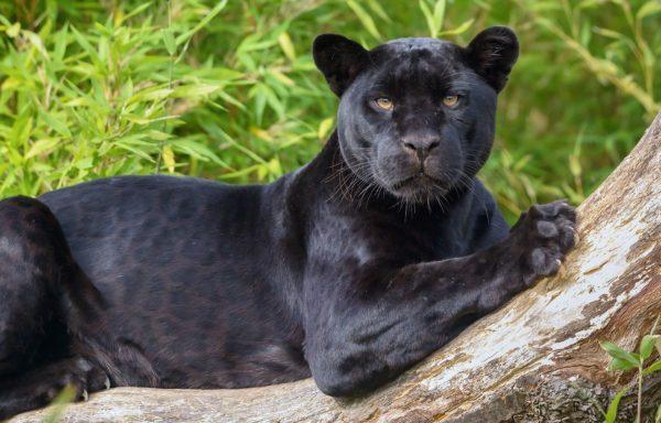 К чему снится черная пантера