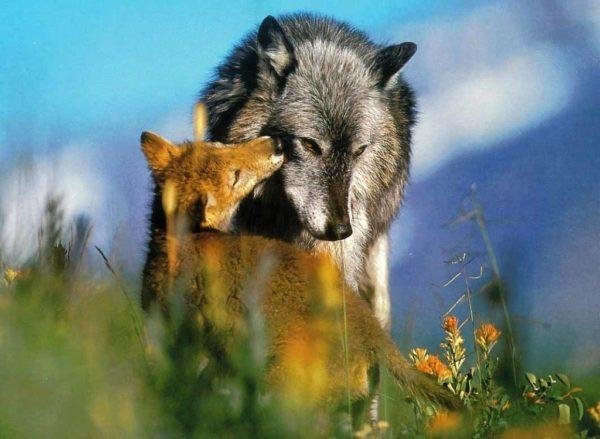 К чему снится волк и лиса