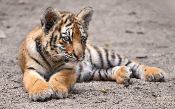 К чему снится тигренок