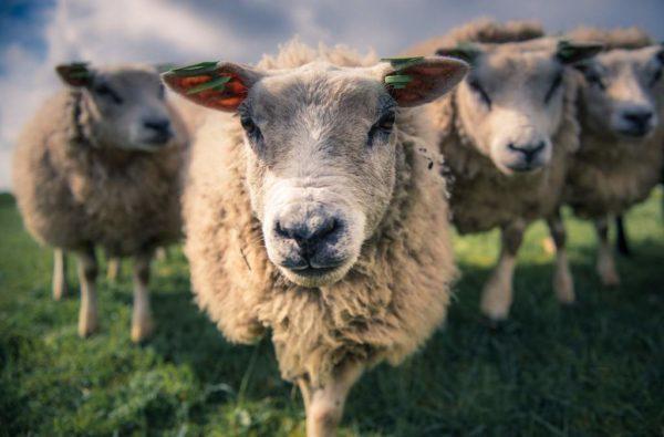 Овцы по соннику