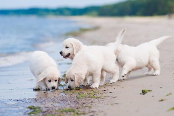 Белые щенки
