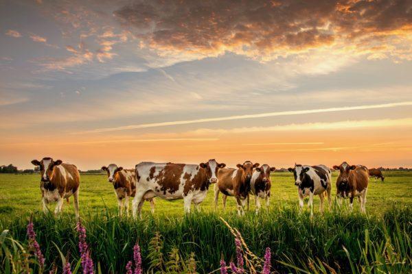 К чему снится стадо коров