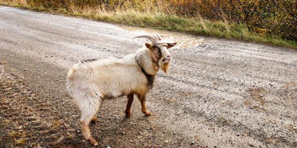 приснился козел