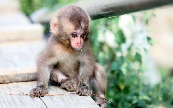 Сонник маленькая обезьяна