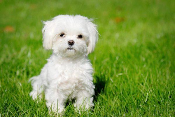 Снится маленькая белая собака