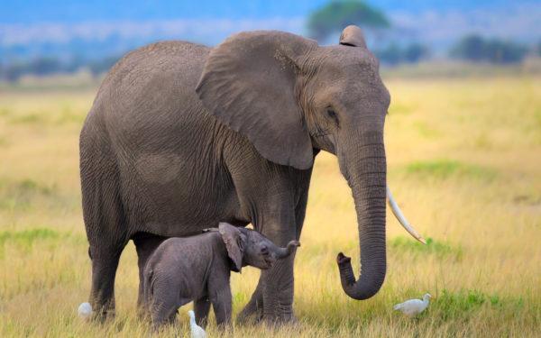 Слоненок приснился с мамой