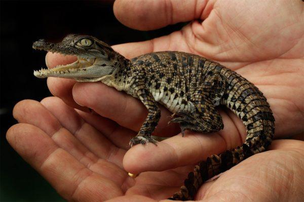 Маленький крокодил в руках
