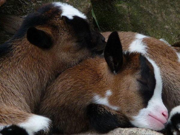 Спящие козлята