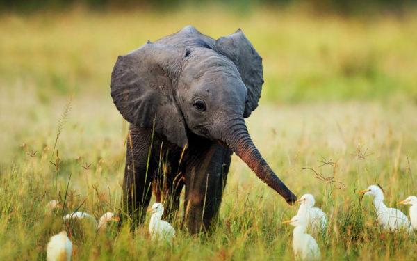 К чему снится слоненок