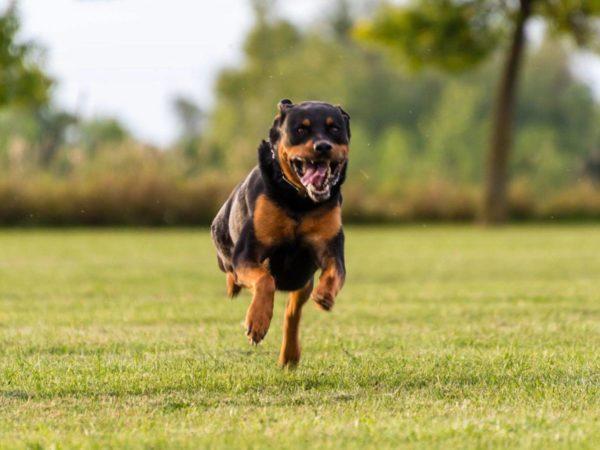 Злая собака гонится