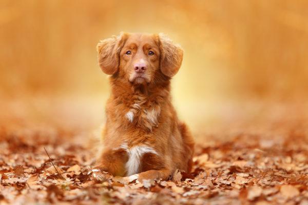 К чему снится рыжая собака
