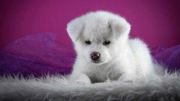 Маленький белый пес