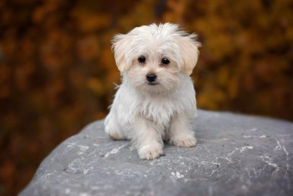 Белая маленькая собака